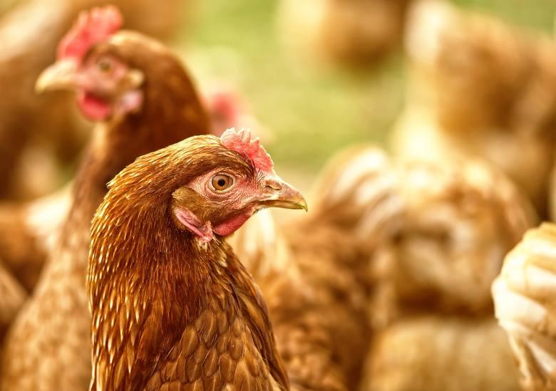 Wystąpienie ptasiej grypy na terenie gospodarstwa powoduje wiele następstw. Jest to szereg zakazów i nakazów obowiązujących na terenie miejscowości wskazanych