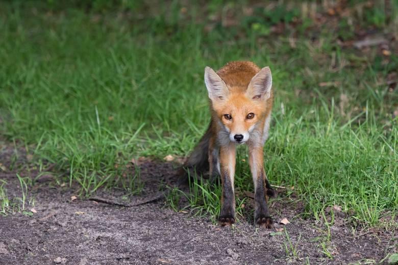 Bezkrwawe łowy. Te zwierzęta [/quot/]ustrzelono[/quot/] w lubuskich lasach za pomocą aparatu. Zobacz, jakie zwierzaki możemy tu spotkać!