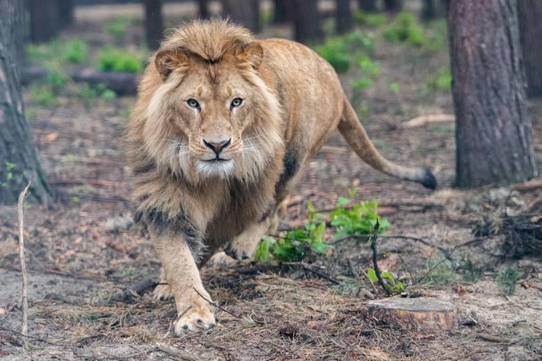 Zoo Poznań: Kociaki z Instagrama? Nie, to drapieżniki  - lwica Kizia i lew Leoś. Spokój odnajdą w azylu