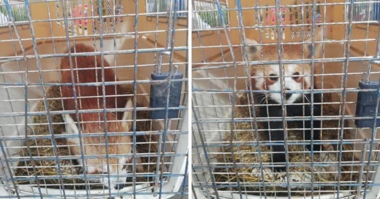 Bezogonek, jedna z toruńskich pand małych, uległ poważnemu wypadkowi. Zwierzę spadło z wysokiego drzewa i poważnie uszkodziło łapę. Przyczyną groźnego