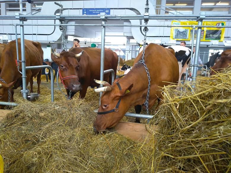 Za krowę można dostać więcej niż za byka
