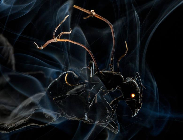 """WORLD PRESS PHOTO 2015. Pierwsze miejsce w kategorii Natura - fotoreportaż. Gdy zarodniki grzyba wylądują na mrówce, przenikają przez jej egzoszkielet i dostają się do mózgu. Zmuszają """"gospodarza"""" do porzucenia mrowiska i wejścia na pobliskie drzewo. Mrówka ginie, a grzyb rośnie i rozsiewa..."""