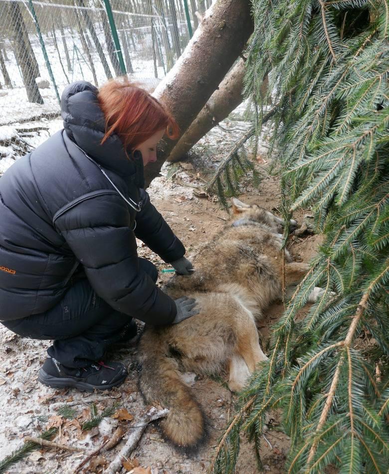 Wilk Miko cudem przeżył. Dziś biega po lesie z Hardą, swoją towarzyszką