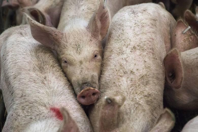 - Służby weterynaryjne niezwłocznie wdrożyły w tym gospodarstwie wszystkie procedury zwalczania, przewidziane w przypadku wystąpienia ASF u świń, w tym