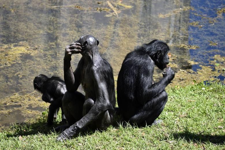 San Diego: po raz pierwszy na świecie zaszczepiono przeciwko koronawiusowi małpy człekokształtne (VIDEO)