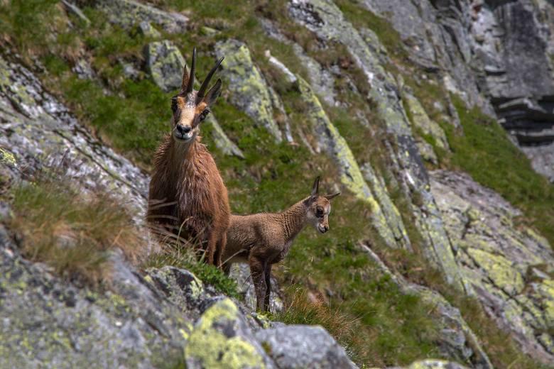 Sympatyczne kozice spotkane na górskim szlaku – Słowacja.