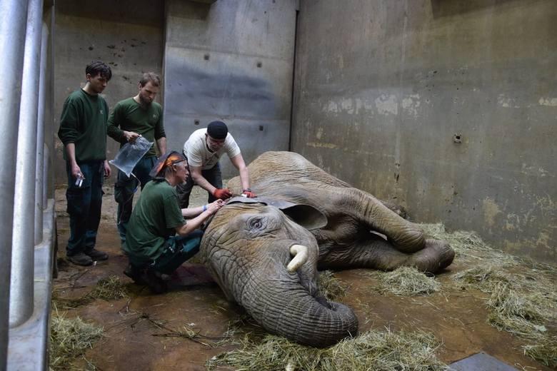 SŁONICA LINDA, Nowe Zoo w Poznaniu(1986 - 2021)Linda, samica słonia afrykańskiego, urodziła się w 1986 roku w Zimbabwe. W wieku dwóch lat została przeniesiona