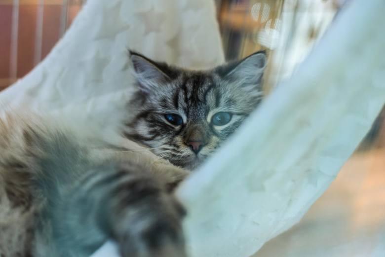 W weekend (28-29 kwietnia) odbywa się w Bydgoszczy Międzynarodowa Wystawa Kotów Rasowych. Na wystawie zagościli wystawcy z kotami z Rosji, Łotwy, Litwy.