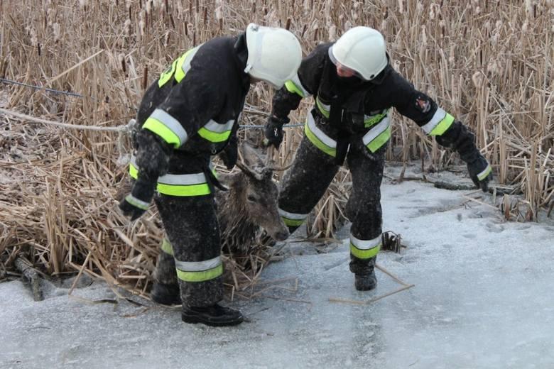 Pod stadem jeleni załamał się lód na stawie w Wędryni (gm. Lasowice Wielkie). Trzy jelenie zostały uwięzione na stawie. Uratowali je strażacy z OSP