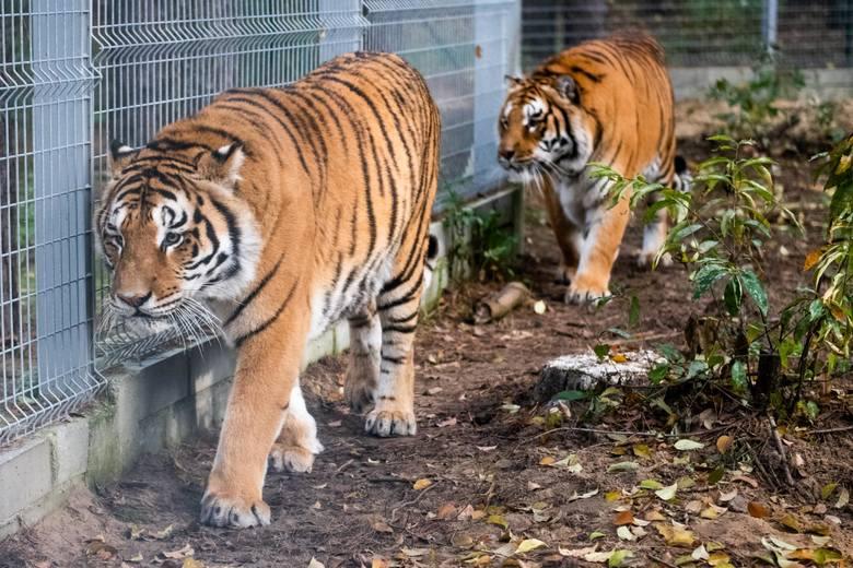 Część z uratowanych zwierząt podczas trwającej wiele miesięcy interwencji trafiła do Poznania. To łącznie około 60 sztuk, wśród nich są tygrysy, oceloty,