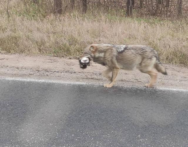 W okolicy Trzebicza wilk niósł w pysku głowę psa. Szedł droga wojewódzką nr 158. Sfotografował go jeden z kierowców