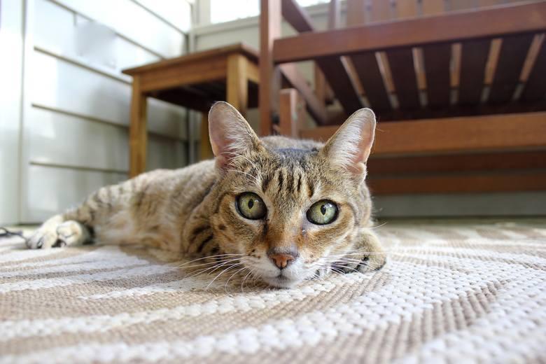 Poznaj najpopularniejsze rasy kotów w Polsce. Mówi się, że chodzą własnymi ścieżkami oraz, że bardziej niż do właścicieli przywiązują się do miejsca.