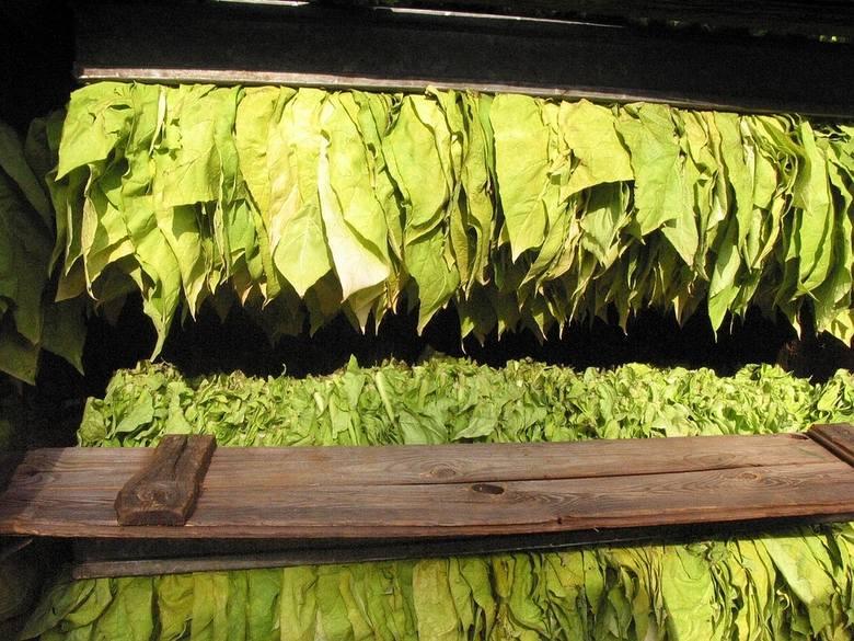 Producent tytoniu będzie musiał się zarejestrować? W ramach walki z szarą strefą
