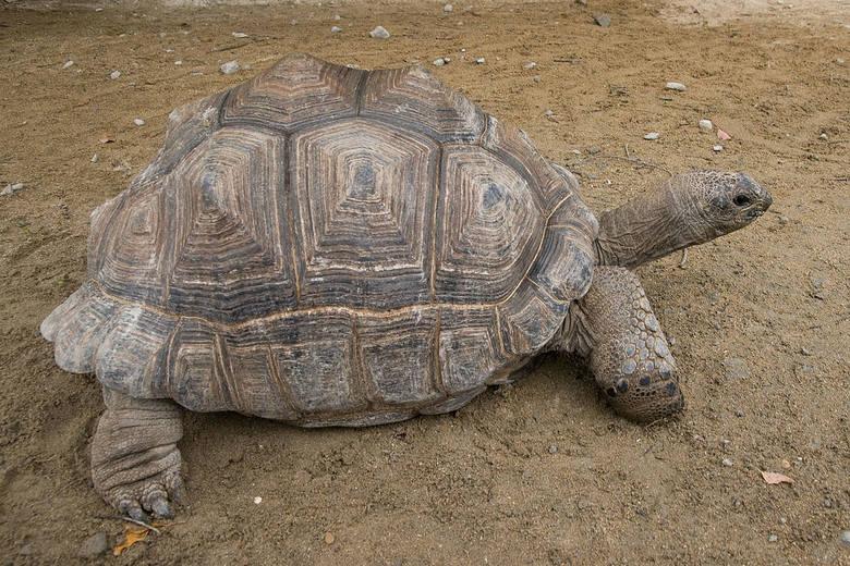 Żółwie generalnie są zwierzętami dość długowiecznymi, ale żółwie słoniowe zdecydowanie wyróżniają się wiekiem, który są w stanie osiągnąć. Bez trudu