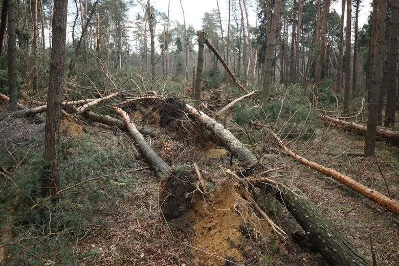 Tak wyglądają teraz lasy w okolicach Kędzierzyna i Strzelec Opolskich.
