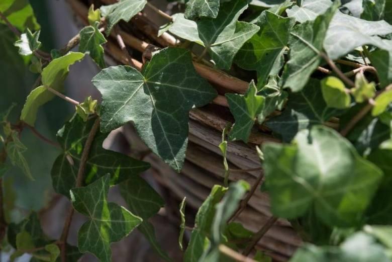 Bluszcz kojarzy się z rośliną ogrodową, ale można go także uprawiać w doniczkach. Doskonale nadaje się do pomieszczeń, gdzie nie ma zbyt dużo światła