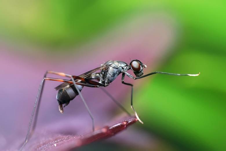 Zdenerwowana mrówka używa żądła w obronie własnej podobnie jak osa, pszczoła, szerszeń czy nawet nie agresywny trzmiel. Jedne mrówki gryzą i pryskają kwasem mrówkowym, co powoduje ból – to te czarne, formiki. Czerwone mrówki to wścieklice: żądlą i odchodzą. Mrówki, do których nie bez powodu...