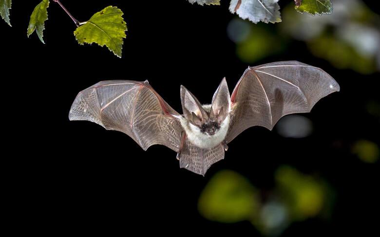 Nietoperze to bardzo pożyteczne zwierzęta, zjadają m.in. komary