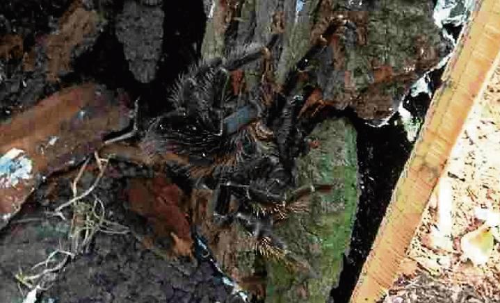 Wśród hodowców pajęczaków wielką popularnością cieszą się groźne tylko z wyglądu pająki ptaszniki