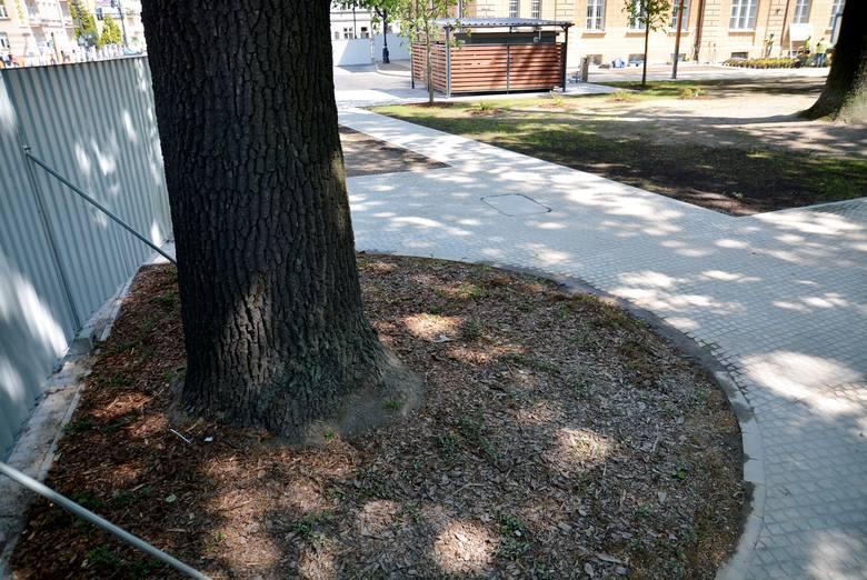 ...drzewo z obudowanymi korzeniami. Czy będzie w stanie żyć po zmianie warunków?