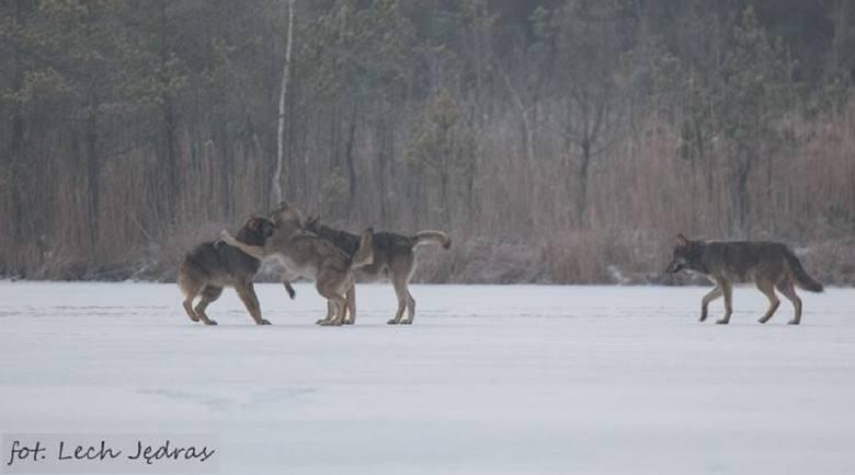 Rejon województwa lubuskiego ze względu na ukształtowanie terenu jest bardzo dobrym miejscem do życia dla wilków. Drapieżników tych w regionie mamy już