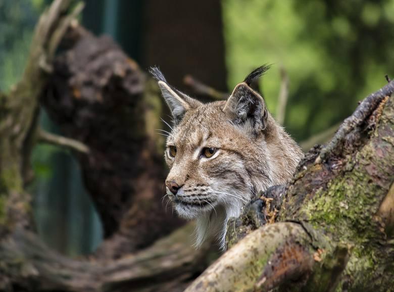Spotkanie z oko w oko z dzikim zwierzęciem zawsze wywołuje emocje. W Lubuskich lasach najczęściej można spotkać sarny, dziki, lisy i zające. Ale w leśnym