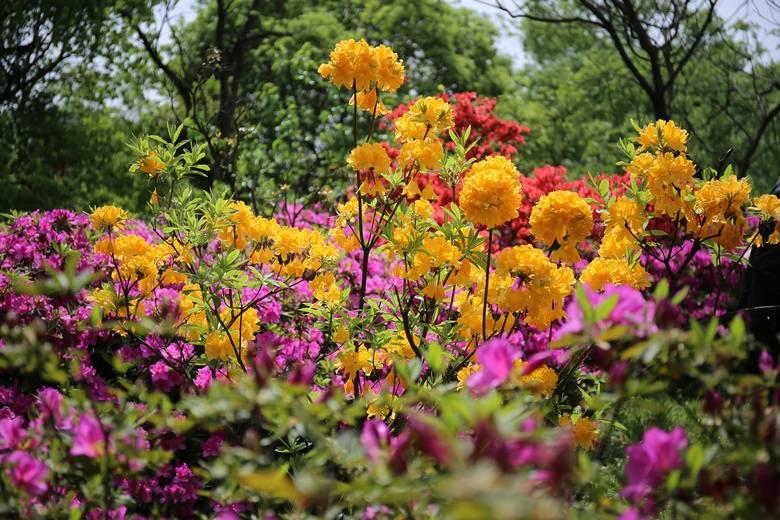 Azalie należą do wyjątkowo pięknych kwitnących krzewów. Mają wiele odmian różniących się wielkością oraz kolorami kwiatów. Najczęściej kwitną na biało,