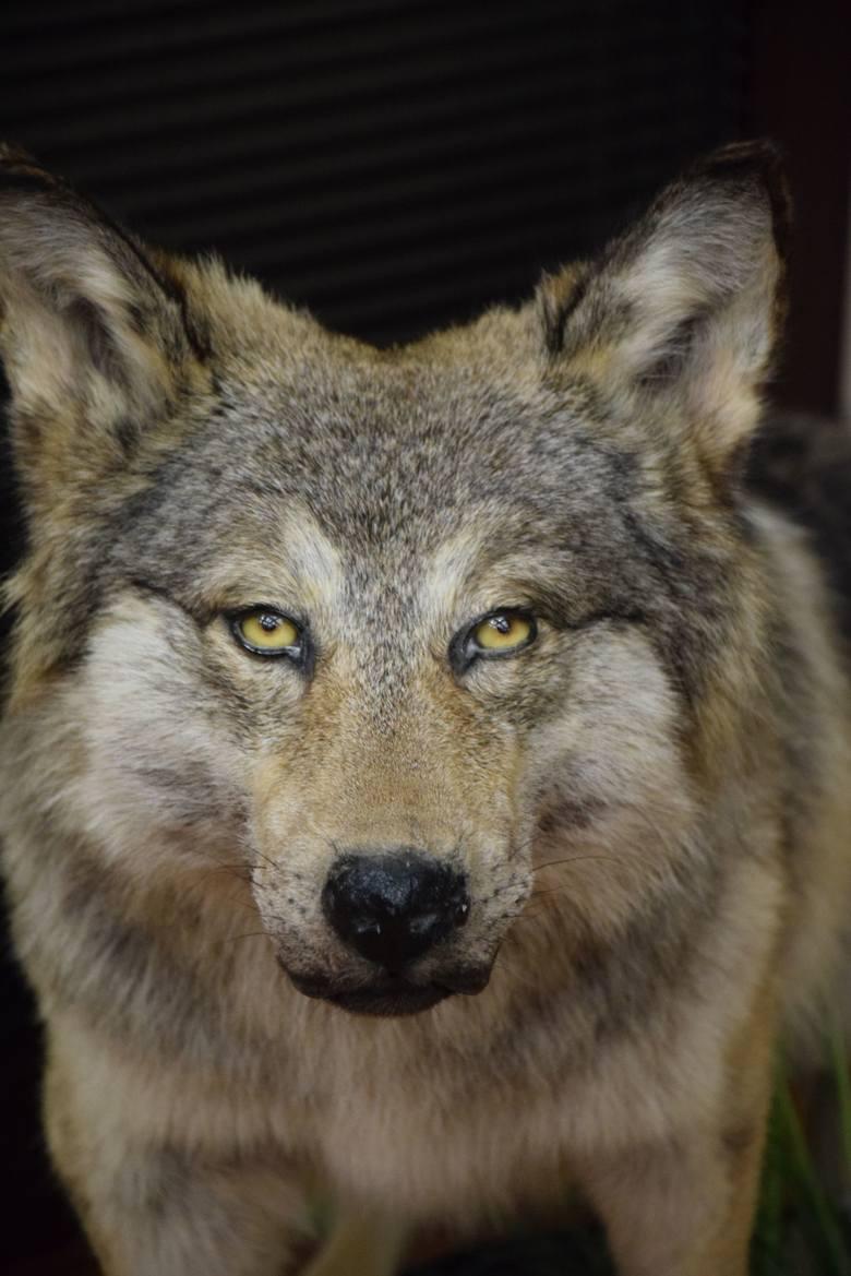 Nie taki wilk straszny. Martwy...
