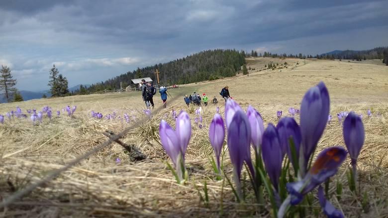 Turyści wrócili w Gorce. Krokusy na Turbaczu [ZDJĘCIA]