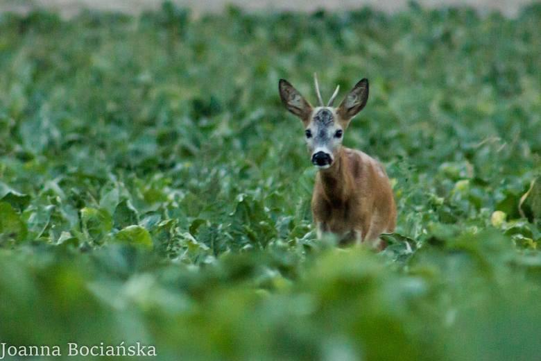 Nie tylko sarny i lisy. W lubuskich lasach są też nietypowi mieszkańcy!