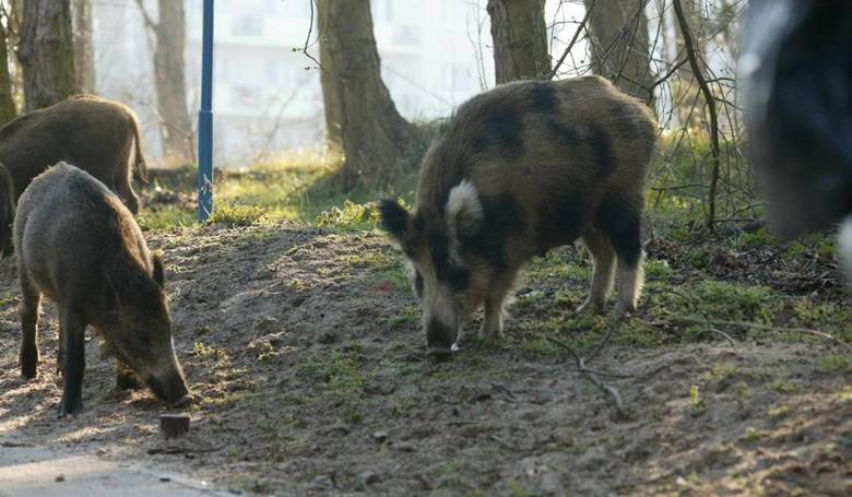 Odłów dzików w Szczecinie jest konieczny. W samym mieście żyje ich ok. 700. Dzięki odłowom, w rejonach, w których są łapane, stan liczbowy populacji