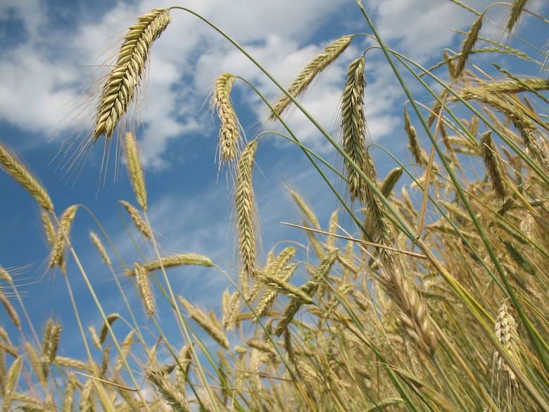 O ubezpieczeniach upraw. Bezpieczne dochody wpisane w polisę? Może