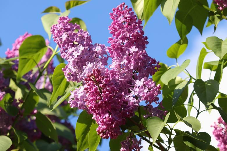 Krzewy, które noszą oficjalną nazwę lilak, najczęściej zwiemy bzami. Bez względu na nazwę są to jedne z najwspanialszych kwitnących krzewów, jakie można