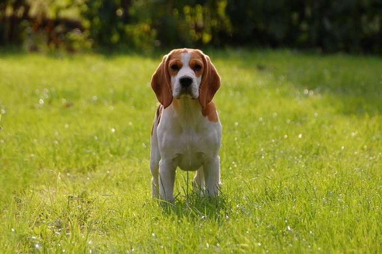 Najbardziej przyjazne rasy psów:Beagle - silne psy o wesołym usposobieniu. Ta rasa psów jest wysportowana: idealnie sprawdzi się na długich spacerac