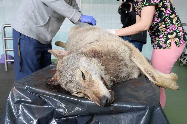 Wilk w pobliżu Wrocławia! Został potrącony przez auto [ZDJĘCIA]