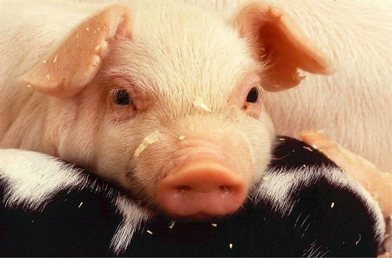 W Irlandii szukają osób do pracy na farmach, które zajmą się świniami, krowami bądź owcami.Atutem jest obsługa traktora lub innych maszyn rolniczych.Kontrakt