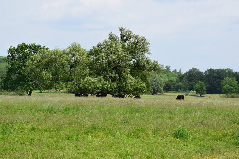 Krowy przebywają w rezerwacie o powierzchni aż 200 hektarów. Czasem trudno jest je zobaczyć. W tym tygodniu pilnowali ich m.in. Jarosław Nowak, Katarzyna Berdowska i Iwona Stępniewska.