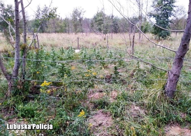 Kryminalni z Komisariatu Policji w Gubinie zabezpieczyli 54 krzewy konopi indyjskich, które ukryto w lesie. Na hodowlę trafili policjanci, którzy akurat