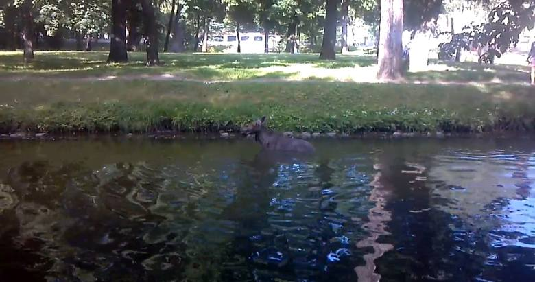 Białystok, park przy Pałacu Branickich. Łoś kąpał się w stawie