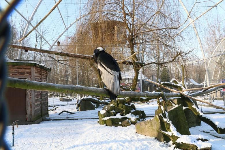 W śląskim zoo nie zobaczymy już kondora wielkiego. Baltazar, jak go nazywali opiekunowie, odszedł na wieczne łowy. Miał 57 lat