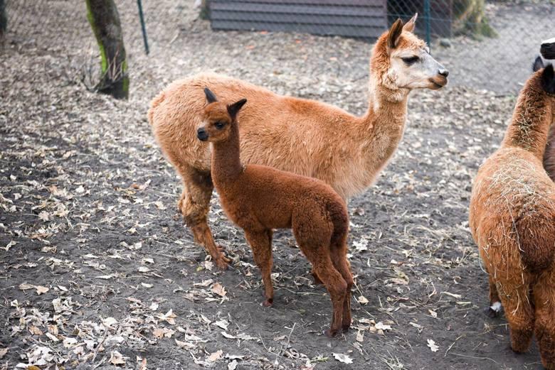 W toruńskim ogrodzie zoo-botanicznym powiększyła się rodzina sympatycznych alpak. I to bez 500plus!