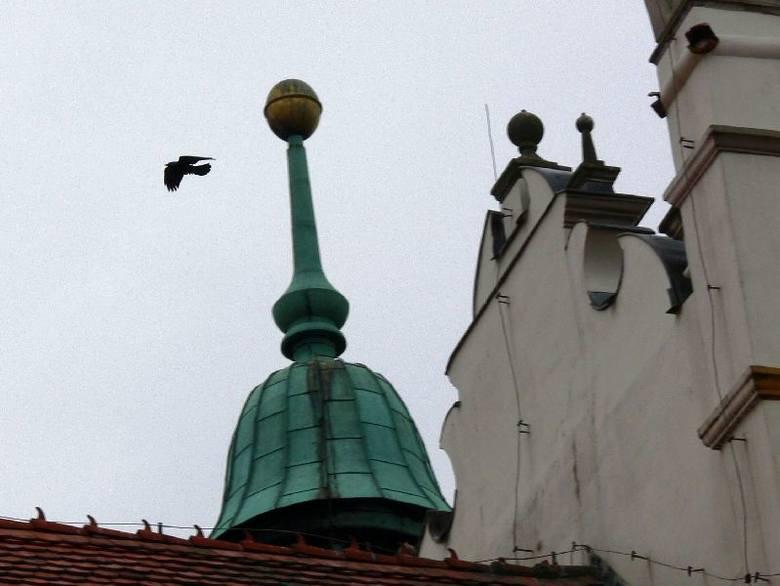 Dzikie gołębie przesiadują między innymi na rynnach Zamku w Baranowie Sandomierskim i zostawiają po sobie odchody.