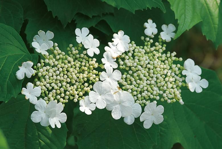 Kalina kwitnie w maju – ma białe, drobne kwiaty zebrane w płaskie baldachy.