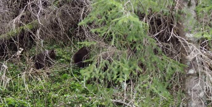 Tatry: Turyści oko w oko z niedźwiedziami! Zaczęli robić im zdjęcia. Co było dalej?