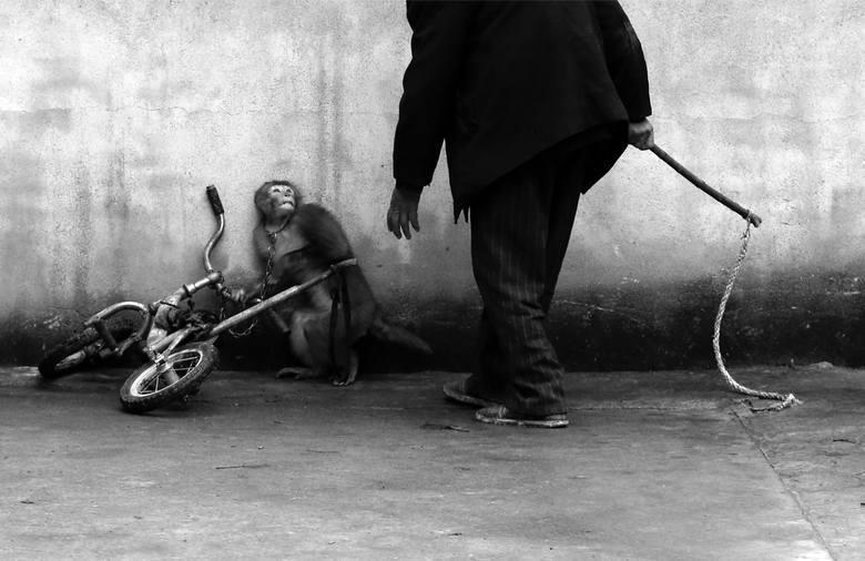 """WORLD PRESS PHOTO 2015. Pierwsze miejsce w kategorii """"Natura - zdjęcie pojedyncze"""". Treser zbliża się do małpki..."""