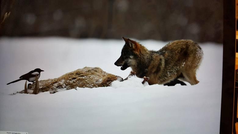 Czy wilk poluje na zwierzęta gospodarskie, człowieka?Zwierzęta domowe to margines pokarmu tych drapieżników - stanowią zaledwie 3 procent. - Wilkowi