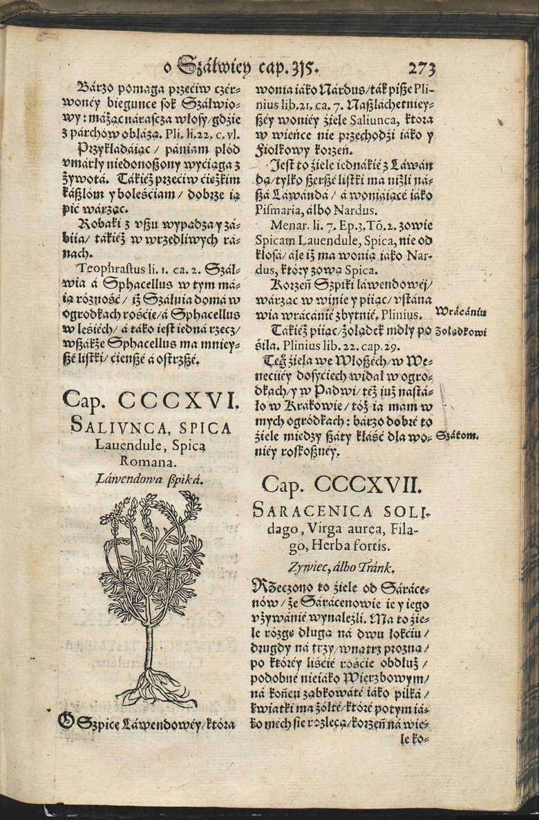 """Tekst """"Herbarza Polskiego"""" został opublikowany 22 lata po śmierci autora. Strona opisująca lawendową szpikę."""