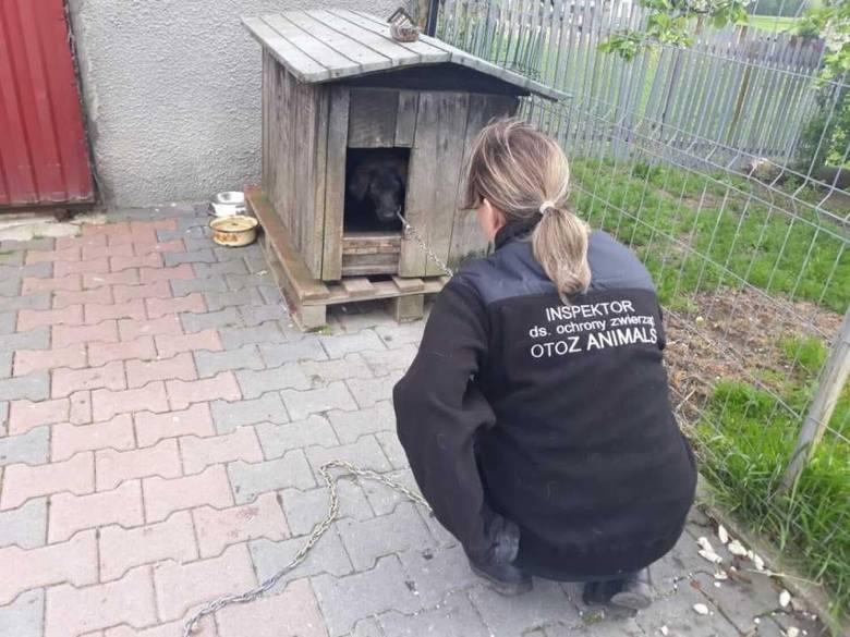 """Interwencja Animalsów w Kartuzach. Przerażona młoda suczka """"do niczego się nie nadawała"""""""