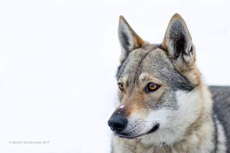 Fifty urodziła się 28 sierpnia 2015 roku. Swoje imię dostała na pamiątkę pierwszej wilczycy z parku w Stownicy.<br />