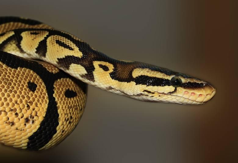 Gad jest niebezpieczny! Wąż ma silne i masywne ciało o obwodzie większym niż udo dorosłego mężczyzny. Dorosły osobnik potrafi stwarzać zagrożenie dla